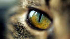 The eye of the tiger royalty free stock photos