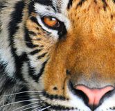 The Eye of a Tiger royalty free stock photography