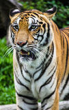 Eye of tiger Stock Photos