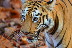 Eye of a tiger royalty free stock image