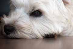 Eye of a tired dog lying on floor. West Highland White Terrier lying on floor Royalty Free Stock Photography