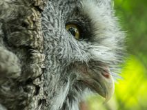 From eye to eye with angry owl. Direct looking into owl eye Stock Images