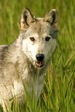 Eye to eye. Wolf in British Columbia, Canada Stock Images