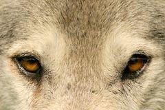 Eye to eye. Wolf, British Columbia, Canada Royalty Free Stock Image