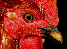 Eye To Eye. Game Rooster Stock Image