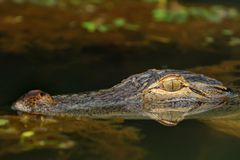 Alligator. A close encounter with the wild alligator royalty free stock image