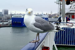 Eye to eye. Closeup of a Seagull in the port of Tallinn stock image