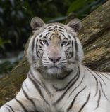 Eye to eye contact. The steely blue eyes of a beautiful white tiger meet mine Stock Photos