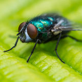 Eye To Eye Fly. A macro shot of a greenbottle fly sitting on a leaf Stock Photography