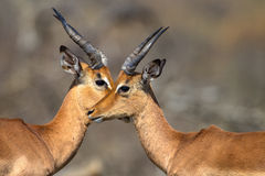 Eye Eye Impala Wildlife. Two young Impala buck stand head to head and eye to eye in the animal wildlife park. The telephoto image photo captures the moment of Royalty Free Stock Photo