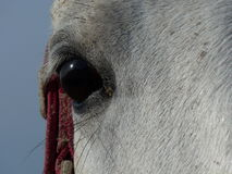 Eye to eye with a lipizzan horse Stock Photography