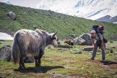 Eye to eye with yak. Backpacker standing in front of big furry yak near Rakaposhi Base Camp in Karakorum mountains in Pakistan Stock Photos