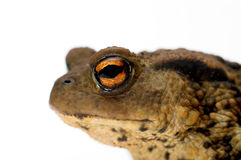 The eye of a toad. The eye and head of a toad on white Royalty Free Stock Photo