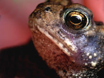Eye of the Toad royalty free stock photo