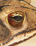 Eye of Toad Royalty Free Stock Photography
