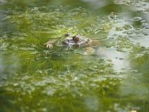 Eye toad Stock Image