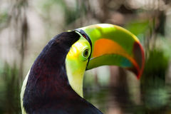 Eye of the Toucan Royalty Free Stock Photo