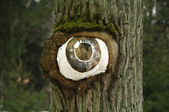 Eye from the tree. Eye grew out of the tree Royalty Free Stock Photography