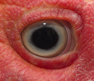 Eye turkey duck Stock Image