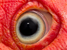 Eye turkey duck Stock Images