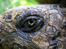 Eye of the Turtle. A curious turtle Royalty Free Stock Photography