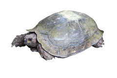 Eye of turtle (selected focus) with its whole body on soil ground. (isolated mode and have clipping path Stock Photo