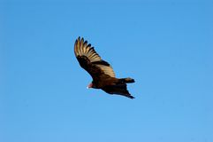 Eye of the vulture. Soaring turkey vulture looking into the camera Stock Images