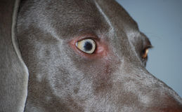 Eye of Weim Royalty Free Stock Photo