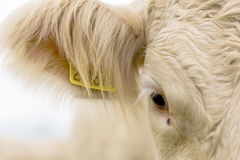 Eye of white cow. Detail of eye of white cows on the meadow at the countryside Royalty Free Stock Images
