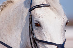 Eye of a white horse. In a bridle close up Royalty Free Stock Photo
