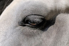 Eye of a white horse close up Stock Photo
