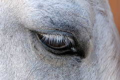 Eye of a white horse close up Royalty Free Stock Image