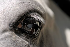 Eye of a white horse close up Royalty Free Stock Photo