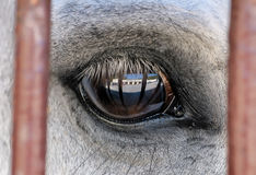 Eye of a white horse close up Royalty Free Stock Images