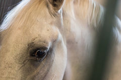 The eye. Of a white racing horse Royalty Free Stock Photography
