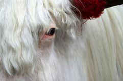 Eye of white yak stock photos