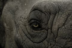 Eye, Wild, Rhino, Animal, Nature Royalty Free Stock Photography