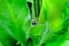 Eye on you. Green tree frog peers out between plants royalty free stock photography