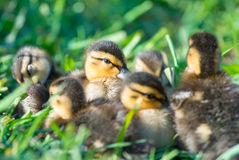 Eye on You. Group of Mallard Ducklings Stock Photos