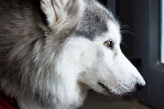 The eye of young dog. Close up on brown eye of dog Royalty Free Stock Photography