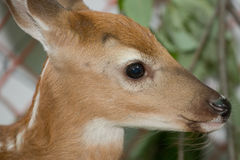 Eye Of A Young Fawn Royalty Free Stock Photos