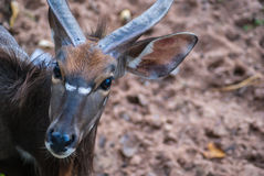 Eye of a young male kudu antelope Stock Photos