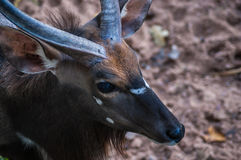 Eye of a young male kudu antelope Royalty Free Stock Photo