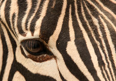 The eye of zebra Royalty Free Stock Photos