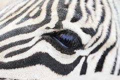 Eye of zebra close up Royalty Free Stock Photo