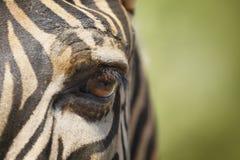 Eye of zebra. Closeup portrait of zebra focusing on eye with green background Stock Images
