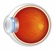 Eyeball - Cross Section Illustrated Royalty Free Stock Images
