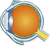 Eyeball section. Illustration of eyeball section diagram Royalty Free Stock Photography