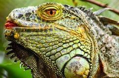 A eyeballing Green iguana. A big creepy looking lizard Royalty Free Stock Images