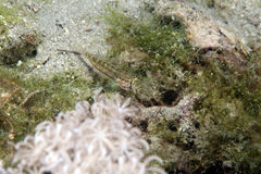 Eyebar goby (gnatholepis anjerensis) in the Red Sea. Stock Images